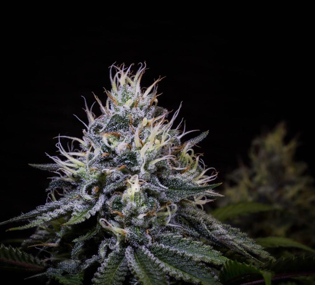 girl scout cookies GSC cannabis